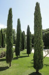 Italian Cypress Seeds - Cupressus Sempervirens Stricta - 25 Seeds ...