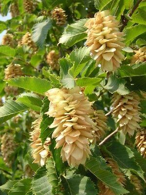 OSTRYA CARPINIFOLIA OFFERTA 40 PIANTE in alveolo carpino nero pianta plant