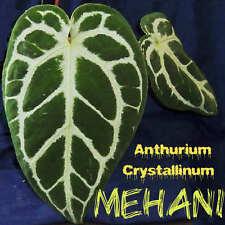 ~MEHANI~ Anthurium Crystallinum Beautiful Velvet Veined Leaf AROID Potd sm PLANT
