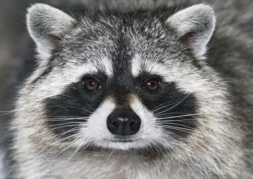 A3 Wildlife Wild Animal Poster Gift #14190 Adorable Racoon Poster Size A4