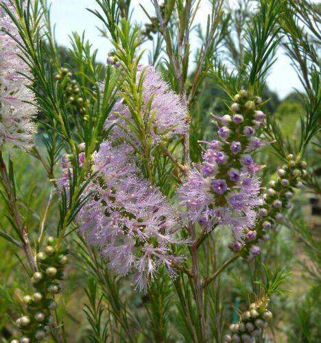 HONEY MYRTLE,Melaleuca armillaris,Native,Xeriscape,Flowers