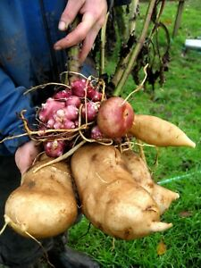 YACON-THE-INCAN-EARTH-APPLE-HUGE-CROPS-OF-CRUNCHY-FRUITY-TASTING-TUBERS-RARE