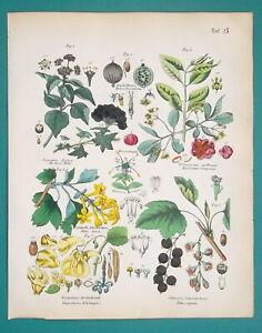 PLANT-FRUITS-Botany-Black-Current-Spindle-Balsam-Ivy-1845-H-C-COLOR-Print