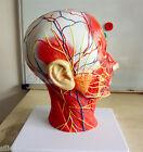 New Human ENT Anatomical Anatomy Throat Brain Cerebrum Otorhinolaryngology Model
