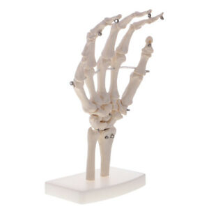Squelette-Articulaire-a-Main-Humaine-Outils-D-039-enseignement-Scolaire
