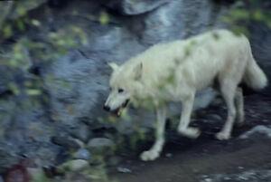 Vintage-Photo-Slide-1986-White-Wolf-Burnet-Park-New-York