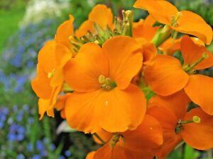 100 Seeds Wallflower Yellow//Erysimum