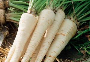 Root-Parsley-Seeds-organic-seeds-non-gmo-Ukraine-1-g-Farmer-039-s-dream