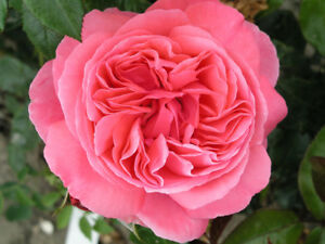 Special anniversary bush rose 55l pot seedling plant large pink image is loading special anniversary bush rose 5 5l pot seedling mightylinksfo