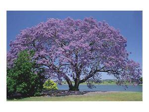 Palisanderholzbaum  Jacaranda MIimosifolia Palisanderholz-Baum -20 frische Samen ...