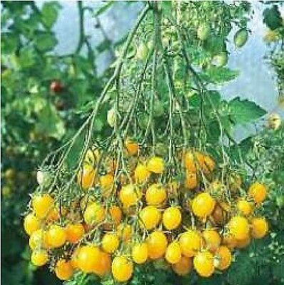 Vegetable - Tomato - Ildi - 35 Seeds