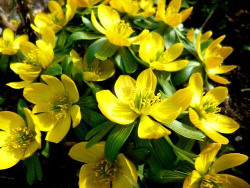 Winterlinge Eranthis hyemalis Frühjahrsblüher 70 Samen NEUE ERNTE /> !