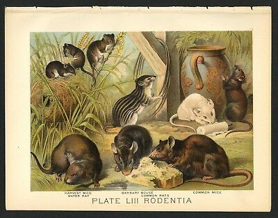 HARVEST MICE, WATER RAT, Vintage 1897 Chromolithograph Print, Antique, 053