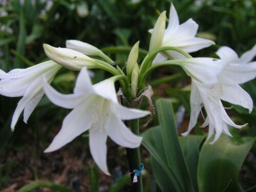 NEW Crinum Lily medium-size bulb Elusive