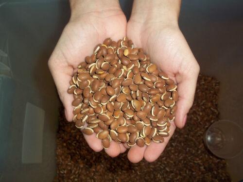 "LabLab Seeds /""The Magic Bean/""  Food Plot/"" 1//4 Lbs Sampler"