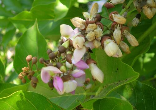 arbre de pongolote SEEDS SAMEN SEMILLAS Millettia pinnata 5 graines de Karanj