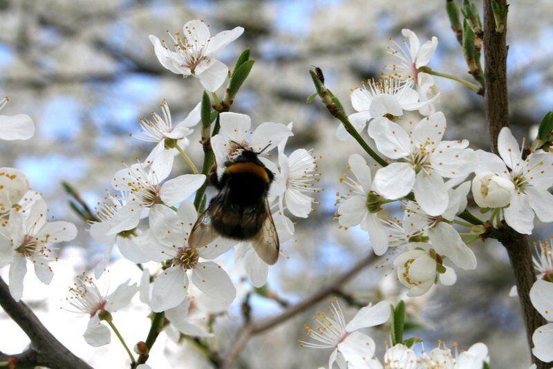 5 Vogelkirsche Wildkirsche Prunus avium 80-100 cm wurzelnackt