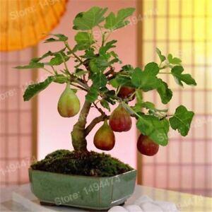 100pcs Rare Tropical Fig Seed Mini Fig Tree Bonsai Plant Rare Fruit