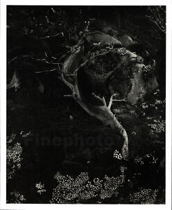 1930/49 Vintage EDWARD WESTON Cypress Tree Root Point