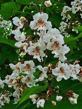 Catalpa bignonioides INDIAN BEAN TREE 25 seeds