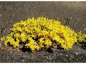 Sedum Acre /'Golden Carpet/' x25 Fresh Seeds