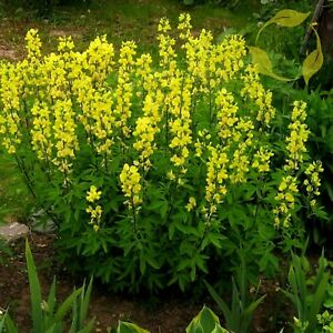 Carolina Lupine Thermopsis Caroliniana Villosa 10 Seeds Ebay