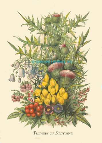 Ready to Frame Lovely FLOWERS OF SCOTLAND PRINT Repro of Victorian Original