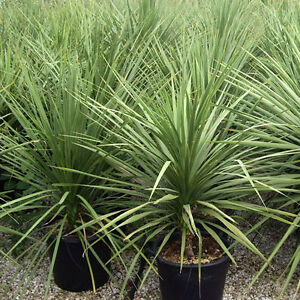 Image Is Loading Dracaena Spike Seeds 500 Bulk
