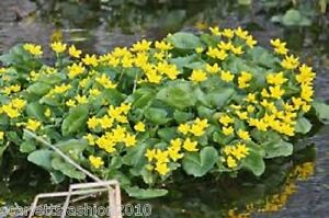 Marsh marigold caltha palustris yellow pond flowers wildflower image is loading marsh marigold caltha palustris yellow pond flowers wildflower mightylinksfo