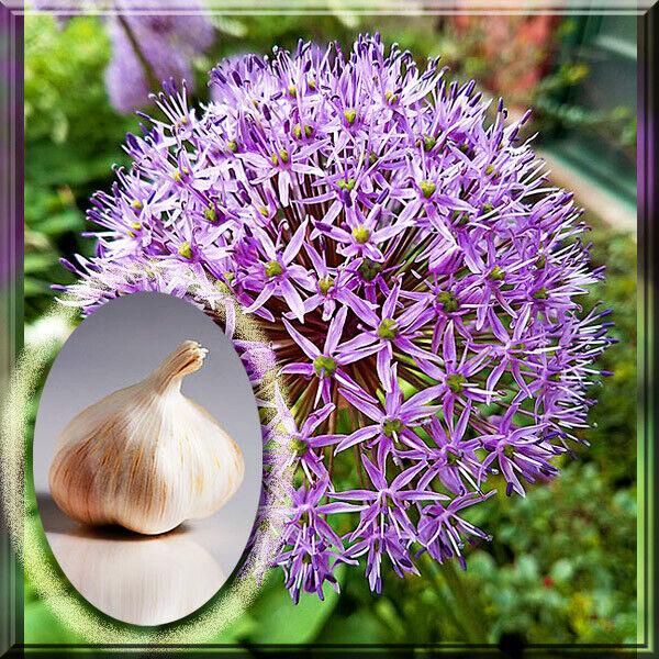8 Giant Allium Gladiator For Sale Online Ebay