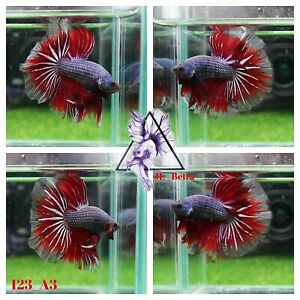 [123_A3]Live Betta Fish High Quality Male Fancy Over Halfmoon 📸Video Included📸