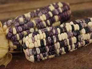 Saatgut LILA RARITäT! Cherokee White Eagle Corn 10+ Samen Mais