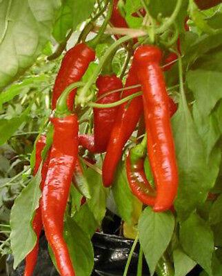 HOT CHILLI PEPPER Liveseeds DE ARBOL 100 seeds