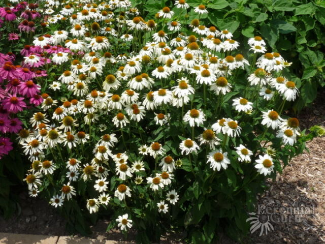Powwow White Coneflower Echinacea Perennial 40 Seeds Pow Wow Erflies