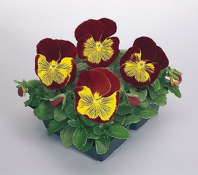 FLOWER PANSY WHISKERS SERIES F1 GOLD / RED 25 FINEST SEEDS