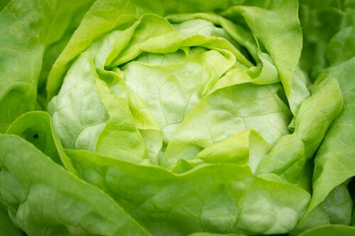 500 Seeds Iceberg Lettuce Heirloom Non GMO Delicious vegetable good Container