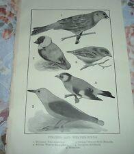 1919 FINCHES & WEAVER-BIRDS Yellowhammer African European Stonechat Print