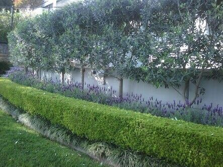 OLIVE TREES IN CAPE TOWN SALE! - ONLY R90, R250, (R420) - ON SALE NOW FOR R370.00!!!