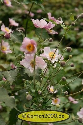 "hohe Herbstanemone, Anemone tomentosa ""Robutissima"" Pflanze ab1,95 Staffelpreise"
