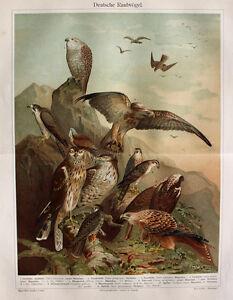 Falcone-Wander-Falke-Habicht-Koenigs-Weih-Sperber-Turmfalke-Bussard-Raubvogel