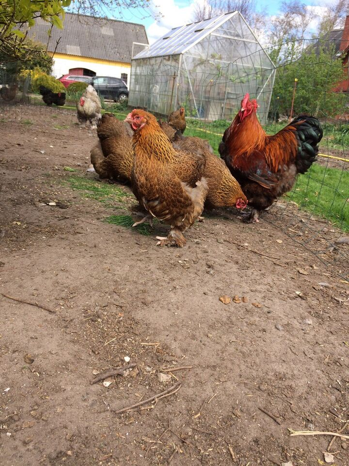 Høns, 3 stk.
