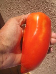 10-graines-Tomate-ANDINE-CORNUE-DES-ANDES-Tomaten-Seeds-France-Production-Bio