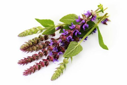 100pcs Sage Salvia Herb Seeds Rare Medical Grass Fragrant Bonsai Plants Garden