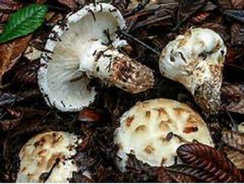 "20 g MATSUTAKE Spawn Tricholoma Mushroom /""Seeds/""Spores"