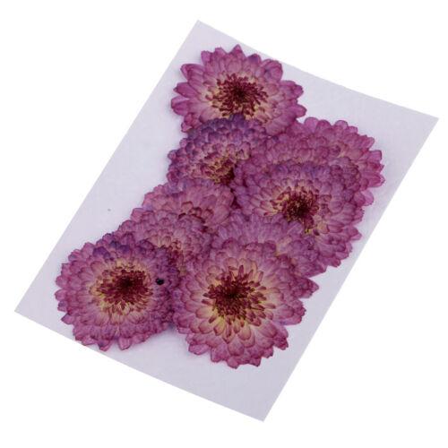 10 pièces pressées séchées vraie fleur pourpre Daisy pour Art Craft Card