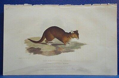 Art Dutiful Antique Print/1833/ The White-eared Weasel /p12