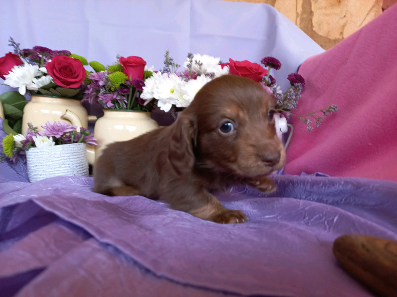 Longhaired dachshund puppies for sale