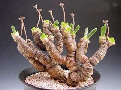 Monilaria Moniliformis !! exotic mesembs rare succulent string of pears 30 SEEDS