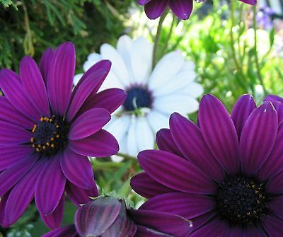 CAPE DAISY MIX * Osteospermum ecklonis * AFRICAN DAISY * REPEAT BLOOMER * SEEDS