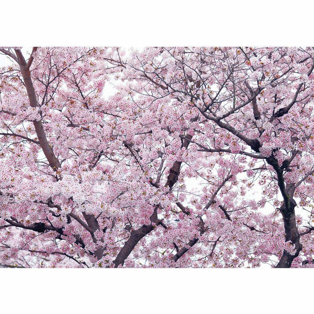 Fototapete Apfelblüten Kirschblüten Baum liwwing no. 3529